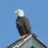Bald-Eagle-On-Bald-Head-Island