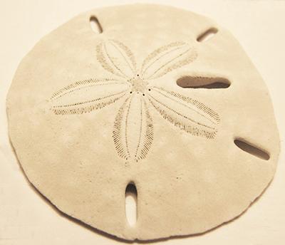 Keyhole Sand Dollar Shell Guide